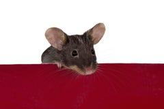 Kleine braune Maus lizenzfreie stockfotos