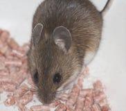 Kleine braune Maus Lizenzfreie Stockfotografie
