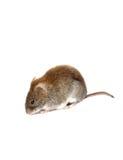 Kleine braune Maus lokalisiert Stockfotografie