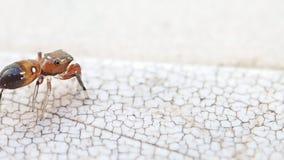 Kleine braune springende den Rahmen verlassende und zurückkommende Spinne stock footage
