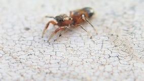 Kleine braune springende Spinne, die sich herum dreht stock footage