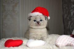Kleine britische Kätzchenaufstellung Stockbild