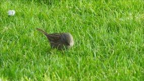 Kleine Britse dunnockvogel die voedsel in park zoeken stock videobeelden
