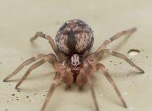 Kleine Brown-Spinne mit großem Palpus lizenzfreie stockbilder