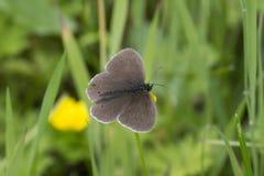 Kleine bruine bevlekte gevleugelde vlinder op stam Stock Foto
