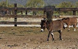 Kleine bruine ezel Stock Afbeelding