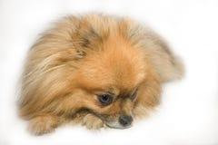 Kleine bruine hond die op vloer legt stock afbeelding