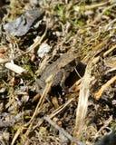 Kleine bruine kikker die zich op droog gras bevinden Royalty-vrije Stock Foto