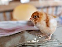 Kleine bruine kip op de stof Jonge vogel stock foto's