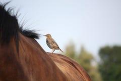 Kleine bruine vogel die op paardrug rusten Stock Fotografie