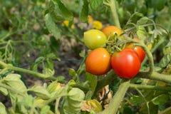 Kleine bundel die van tomaten, van groen aan rood rijpen Royalty-vrije Stock Afbeeldingen