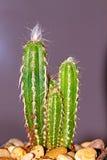 Kleine cactus Royalty-vrije Stock Afbeelding