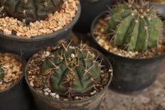 Kleine cactus in ayutthaya Royalty-vrije Stock Afbeelding