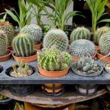 Kleine cactus in bloempot Royalty-vrije Stock Afbeelding