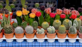 Kleine cactus in bloempot Stock Afbeeldingen