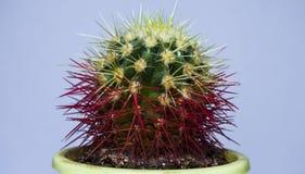 Kleine cactus De mening van de close-up Op een witte achtergrond - Beelden royalty-vrije stock afbeeldingen