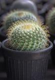 Kleine cactus in een pot Royalty-vrije Stock Foto