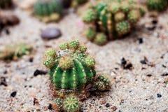 Kleine cactus op grond Stock Afbeeldingen