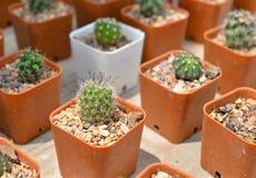 Kleine cactus in pot Stock Afbeeldingen