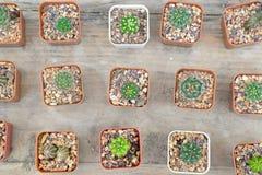 Kleine cactus in pot Royalty-vrije Stock Foto
