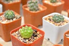 Kleine cactus in pot Royalty-vrije Stock Afbeelding