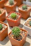 Kleine cactus in pot Stock Afbeelding