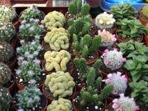 Kleine cactussen Stock Foto's