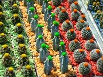 Kleine cactussen Stock Afbeeldingen