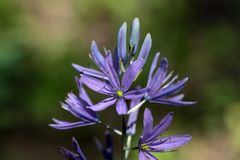 Kleine Camas-Blume Stockfotografie