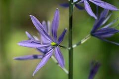 Kleine Camas-Blume Stockbild