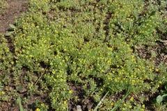 Kleine Ceratocephala-testiculata Anlagen mit gelben Blumen Lizenzfreie Stockfotografie