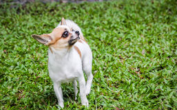 Kleine Chihuahua Lizenzfreie Stockfotografie