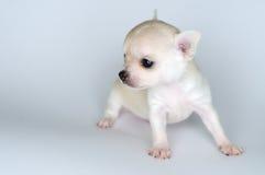 Kleine Chihuahua des Hundewelpen gegen weißen Hintergrund Stockfotos