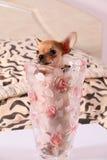 Kleine Chihuahua in einem Blumenvase Lizenzfreie Stockbilder