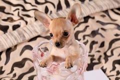 Kleine Chihuahua in einem Blumenvase Stockbild
