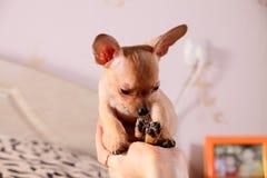 Kleine Chihuahua in einer Hand Stockbilder