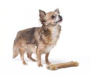 Kleine Chihuahua mit dem großen Knochen stockfotografie