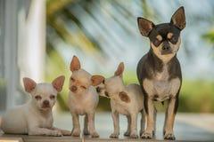 Kleine Chihuahua mit Mutter Stockfoto