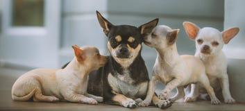 Kleine Chihuahua mit Mutter Lizenzfreie Stockfotografie