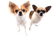 kleine Chihuahuahunde lokalisiert Stockbilder