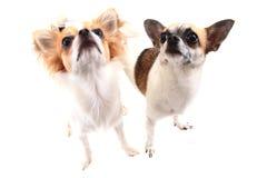 kleine Chihuahuahunde lokalisiert Stockbild