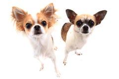 kleine Chihuahuahunde lokalisiert Lizenzfreies Stockfoto