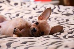 Kleine Chihuahualagen auf einer Bettdecke Stockbild