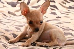 Kleine Chihuahualagen auf einer Bettdecke Stockbilder