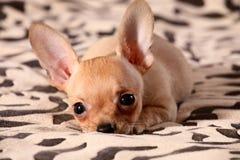 Kleine Chihuahualagen auf einer Bettdecke Stockfotografie