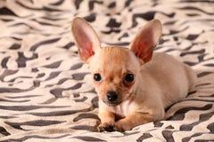 Kleine Chihuahualagen auf einer Bettdecke Lizenzfreies Stockbild