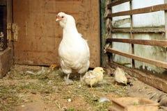 Kleine chinesische flaumige Hühner mit Mutterhenne lizenzfreies stockfoto