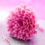 Kleine chrysant Stock Afbeeldingen