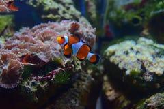 Kleine Clownfische, die oben mit verschiedenen Korallen im Hintergrund schwimmen stockfoto