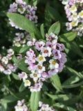 Kleine Cluster van Kleine Bloemen Stock Afbeeldingen